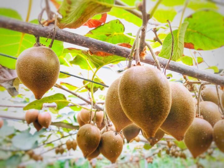 キウイの収穫体験は本日10月1日から開始です!