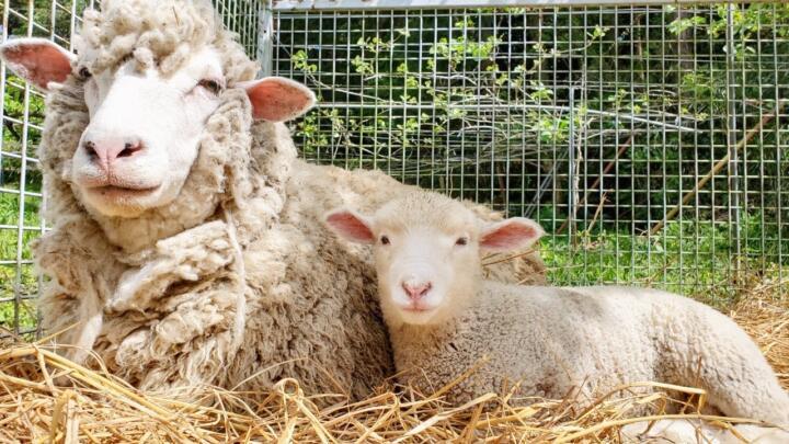申し訳ございませんが受付終了致しました!GWの羊さんの毛刈り体験参加申込シート(抽選)