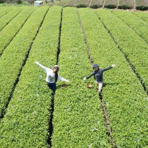 「Tea pickup experience」画像3