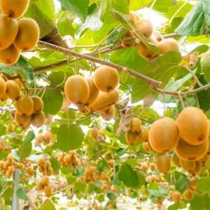 「キウイ収穫体験」画像2