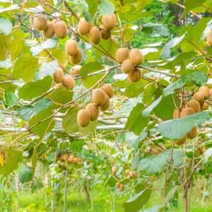 「キウイ収穫体験」画像3